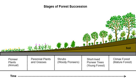 Forest-Succession_profile_chart