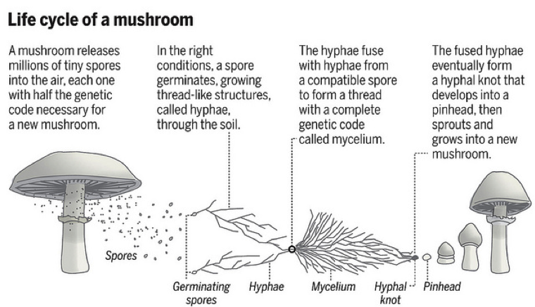 life-cycle-of-a-mushroom